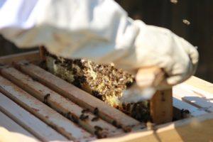 medpcelarskimagazin-bolesti pčela