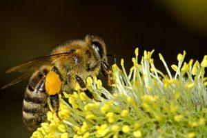 medpčelarskimagazin-HONEYBEEKEEPINGMAGAZINE -biologija pčela